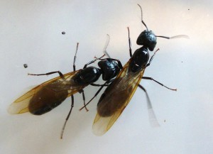 ant with wing